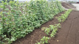 いんげん枝豆